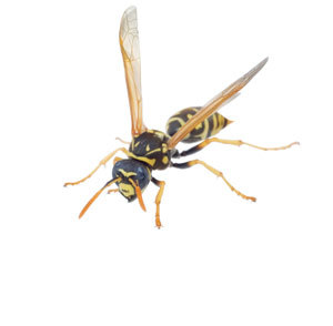Wasps in Reading