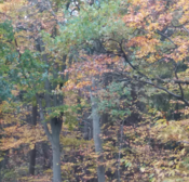 Autumn in Fifield woods