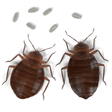 Bed bugs control in Reading