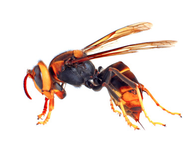 hornet removal and pest control in Reading