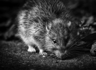 Black and white image of a rat