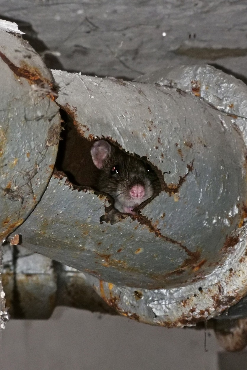 Rat peeking out of a pipe