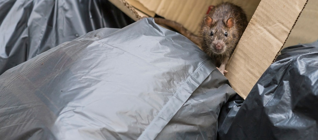 Rat in rubbish