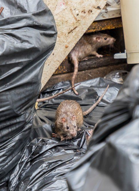 Rats in rubbish